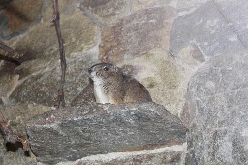 Cape Dune Mole-Rat (Bathyergus suillus) | Flickr - Photo