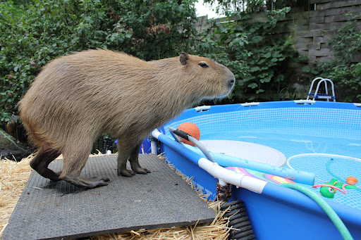 Capybara Swimming Pool Farewell Faithful Swim...
