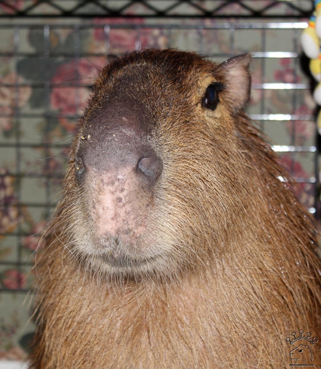 Capybaras | Dobby the Capybara