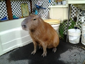 No capybara in the world has a finer throne room than me.