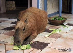 Garibaldi ROUS is actually thinking about eating some broccoli!