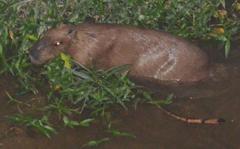 Capybara in Okinawa