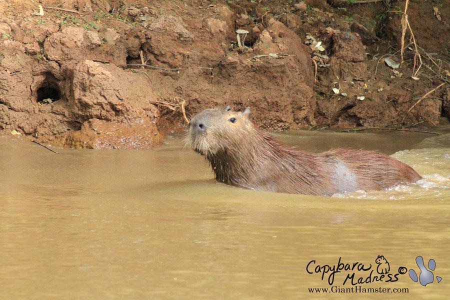 Mr. Capybara