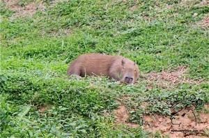 petcapybara.com