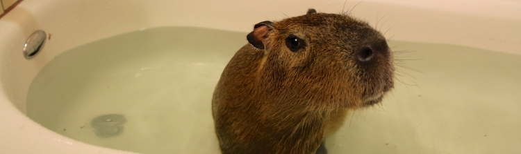 Mia the Capybara
