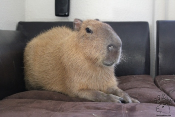 Image result for capybara home