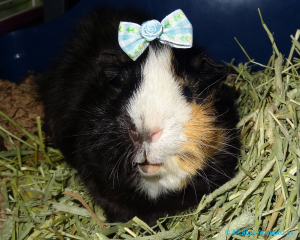 Alfalfa, wearing his favorite bow (NOT!)