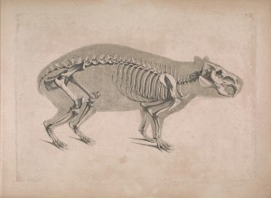 Die_vergleichende_Osteologie_(1821)_Hydrochaeris_hydrochaeris