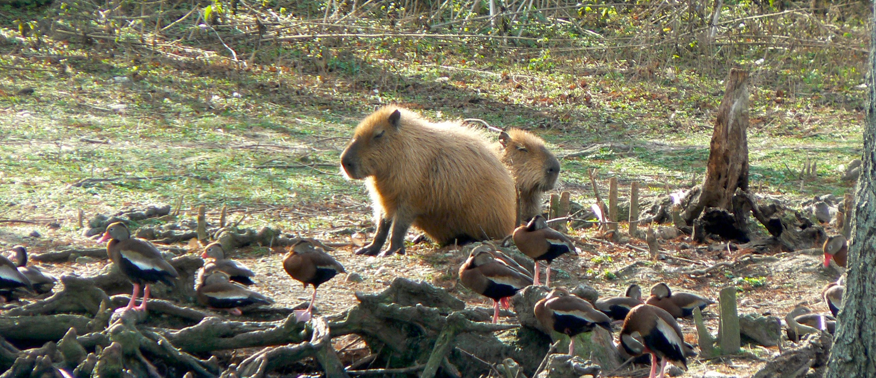 The Zoo Project: Capybara Version
