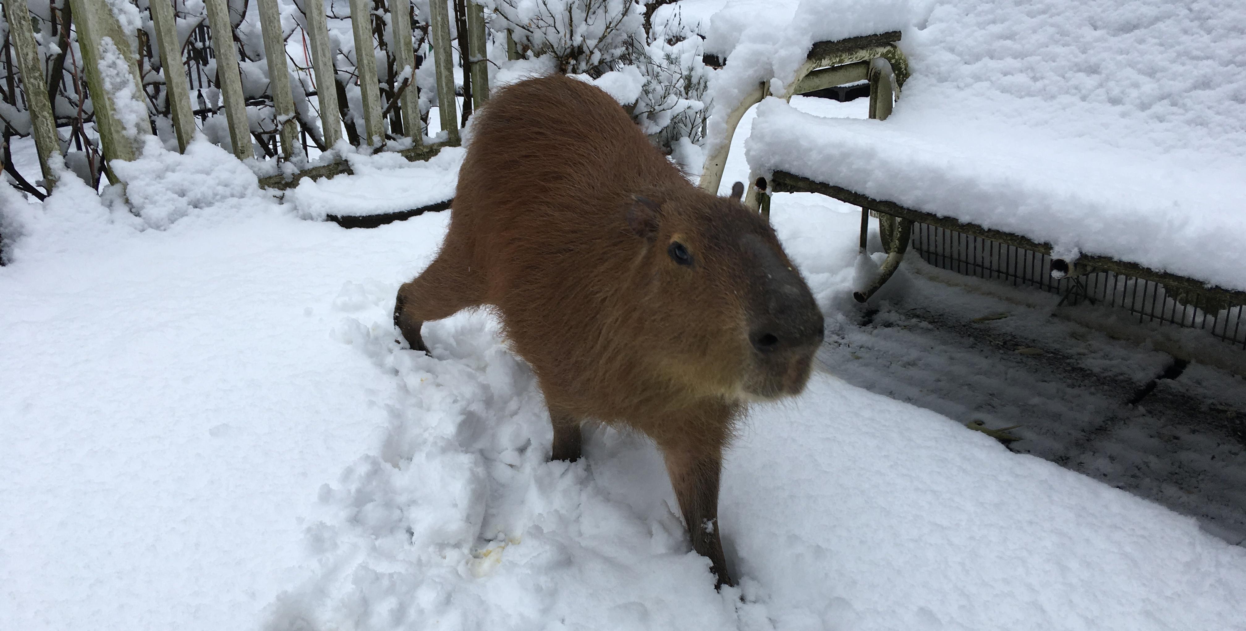 Capybaras Don't Like Snow