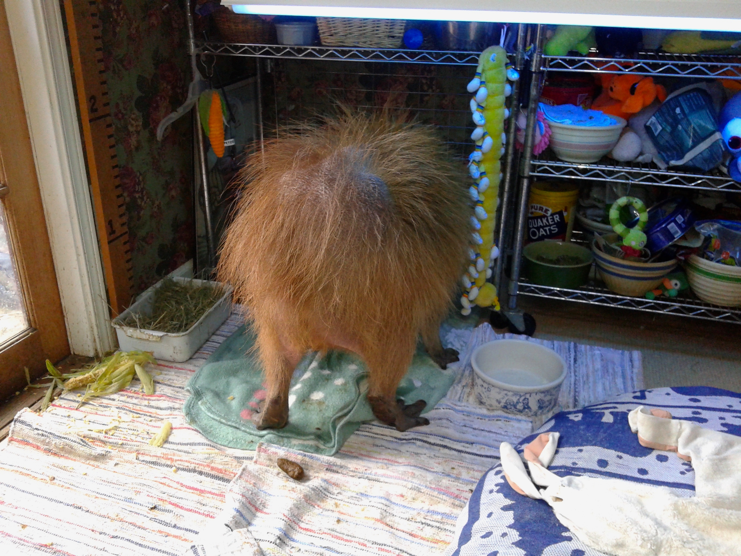 How Not to Care for a Pet Capybara