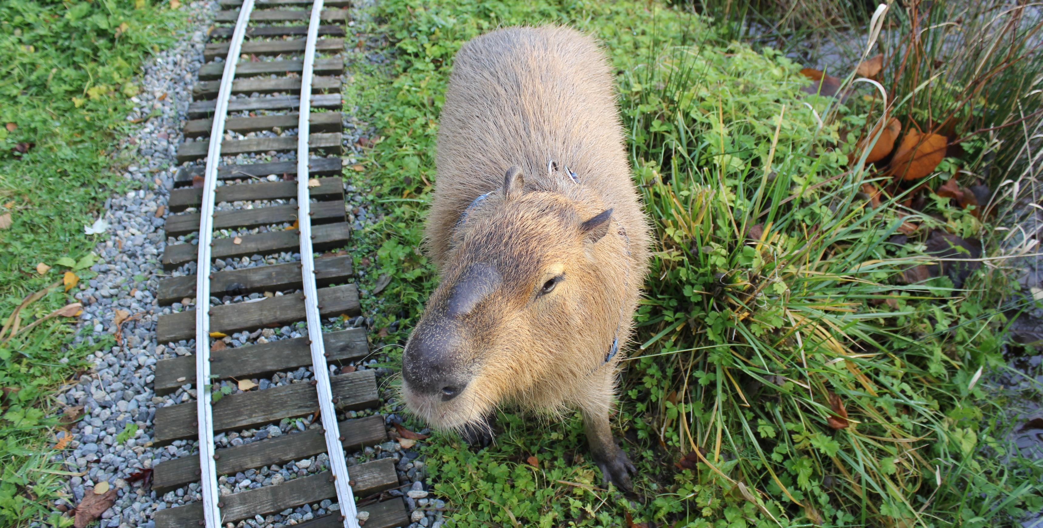 Dobby the Capybara Grows Up