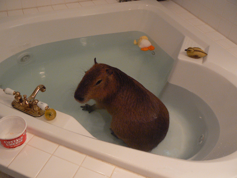 A Capybara in the Bathtub