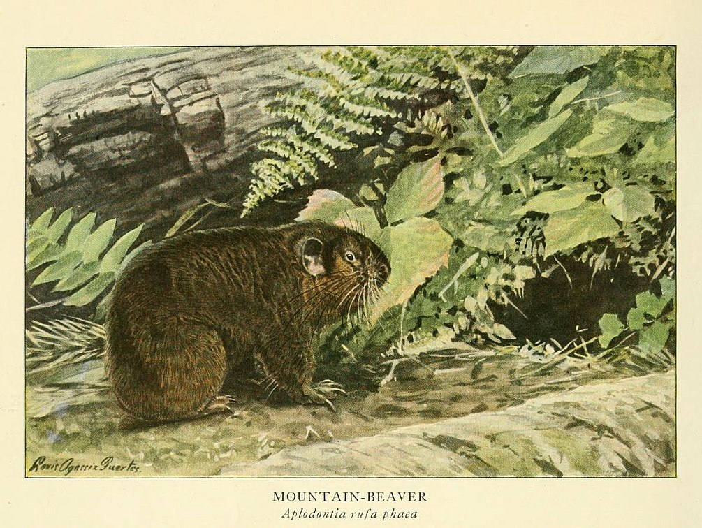 The Mountain Beaver That Is Not A Beaver | Cool Green Science