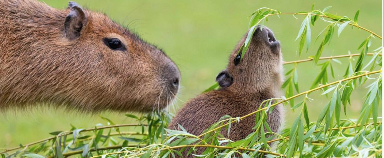Capybara Habitat Invaded by Humans
